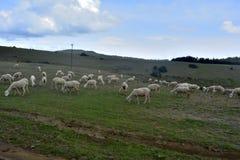 Sheeps kózki na Zielonej trawie pod niebieskim niebem zdjęcia royalty free