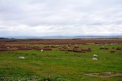 Sheeps Kerry, Irland Royaltyfri Foto