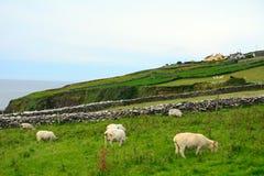 Sheeps Kerry, Irland Royaltyfri Fotografi