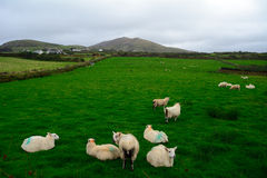 Sheeps Kerry, Irland Arkivfoto