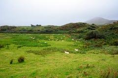 Sheeps Kerry, Irland royaltyfria foton