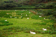 Sheeps Kerry, Irland fotografering för bildbyråer