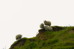Sheeps in Kilt Rock Waterfall. Elishader Ellishadder Royalty Free Stock Images