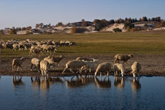 Sheeps by the lake Stock Photos