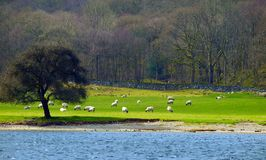 Sheeps in Lake District. Sheeps in a field from the view in the middle of the lake in Lake Districk, Cumbria, England Stock Images