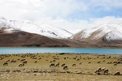 Sheeps on lake and snow mountain Royalty Free Stock Image