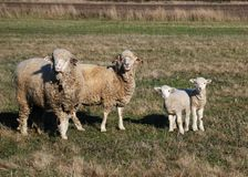 Sheeps and lamb Royalty Free Stock Images