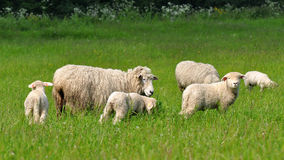 Sheeps and lambs Stock Photo