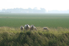 Sheeps and lambs. In a meadow at sundown in Groningen, Netherlands Royalty Free Stock Photos