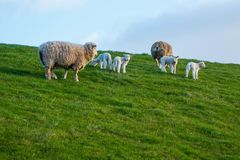Sheeps and Lambs on royalty free stock photos