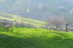Sheeps and lambs - Farm animals. Sheep's and lambs on a hill with green grass in a mountain village royalty free stock images