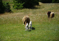 Sheeps and lambs. On the field Royalty Free Stock Photos