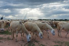 Sheeps or lambs live in the farm at dry land part 9 royalty free stock photography