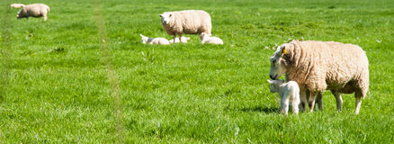 Sheeps with lambs in  meadow. Several mother sheeps with their lambs in a meadow Royalty Free Stock Image