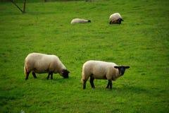 Sheeps in landbouwbedrijf Stock Afbeelding