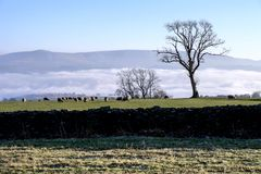 Sheeps. Landscape with sheeps cloudy fog gate Stock Photos