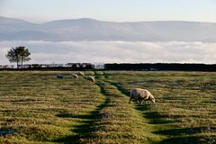 Sheeps. Landscape with sheeps cloudy fog gate Royalty Free Stock Image