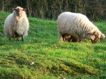 Sheeps Latxa Stock Image
