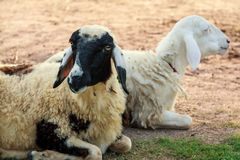 Sheeps lie down Royalty Free Stock Images