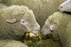 Sheeps at livestock exhibition Royalty Free Stock Photo