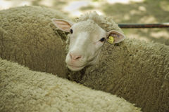 Sheeps at livestock exhibition Stock Images