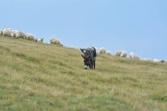 sheeps london фермы осла местные Стоковое фото RF