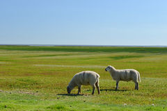 Sheeps Look. Photo with white sheeps in the corral Stock Photography