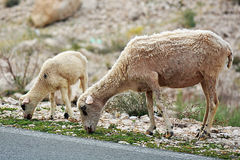Sheeps looking for food royalty free stock photo