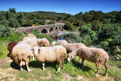 Sheeps looking at me and roman bridge at background Royalty Free Stock Photos