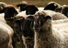Sheeps looking one way. Herd of the sheeps looking one way Stock Images