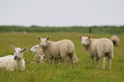 Sheeps looking at you. Four sheeps in a green field looking at you royalty free stock image