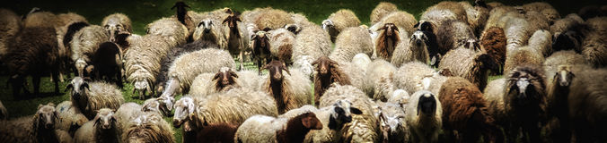 Sheeps. A lot of sheeps on area Royalty Free Stock Photography
