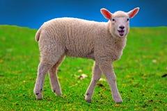 sheeps młodzi zdjęcia royalty free