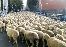 Sheeps in Madrid Stock Photo