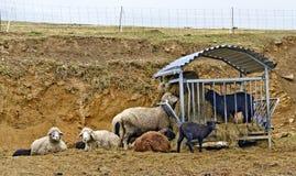 Sheeps at a manger Royalty Free Stock Image