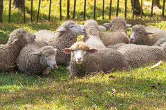 Sheeps. Many sheep on the meadow Stock Photos