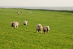 Sheeps on the meadow Stock Image