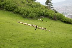 Sheeps on meadow Stock Photos