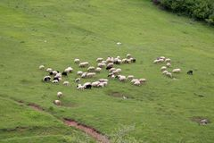 Sheeps on meadow Royalty Free Stock Photography
