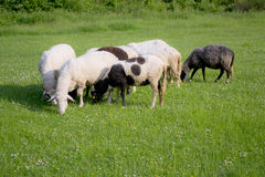 Sheeps on the meadow Stock Photography