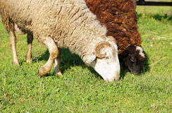Sheeps on a meadow Stock Image