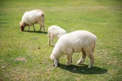 Sheeps in a meadow Stock Photo