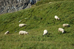 Sheeps on meadow in Alps in Switzerland Stock Photography