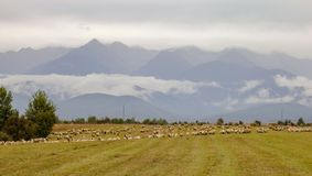 Sheeps on meadow with Carpathian mountain in the background stock images