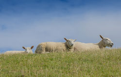 Sheeps. On a meadow close up Stock Image