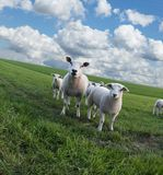 Sheeps on a meadow Royalty Free Stock Image