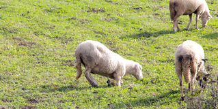 Sheeps on a meadow. domestic animals theme. Picture of a sheeps on a meadow. domestic animals theme royalty free stock photo