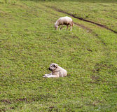 Sheeps on a meadow. domestic animals theme. Picture of a sheeps on a meadow. domestic animals theme stock photos