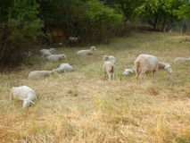 Sheeps on a meadow with dry grass Stock Images