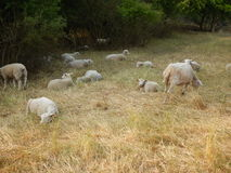 Sheeps on a meadow with dry grass Royalty Free Stock Photography